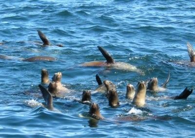 Sea Lions Pod
